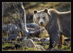 Teenage Griz (techmuse) Tags: 2955 yellowstone2011beargrizzly yellowstoneall