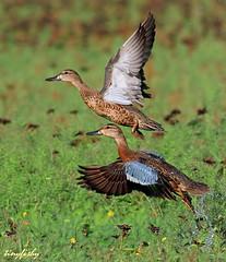(#323) A Pair Of Cinnamon Teals (tinyfishy (Home again)) Tags: bird flying duck teal cinnamon pair flight teals