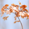 F A D E D (Miss K.B.) Tags: winter light flower colour macro nature square ilovenature beige soft dof bokeh details naturallight explore faded hydrangea dried nikkor simple storypeople 50mmf14d 500x500 bokehlicious nikond80