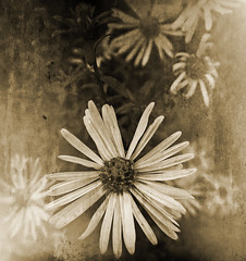 Remembering Daisy (virtually_supine) Tags: flowers closeup sepia manipulation monotone textures daisy layers experimentation fauxvintage michaelmasdaisy thepottingshed gradientfill photoshopelements7