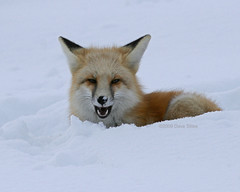 Red Fox - Toothy Grin - Jackson, WY (Dave Stiles) Tags: fox redfox vulpesvulpes jacksonwy platinumphoto natureandnothingelse
