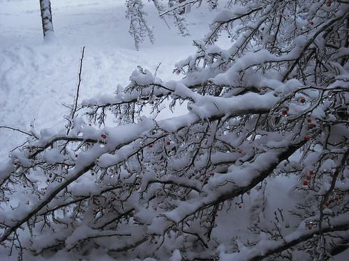 Snowy Limbs