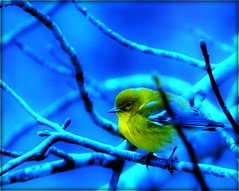 Yellow Bird Bokeh (Tracey Tilson Photography) Tags: blue tree bird nature yellow wednesday nc nikon colorful poplar dof bokeh north finch twig carolina picnik orton d90