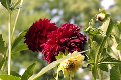 dahlias (margaretpagewhite) Tags: flowers lexingtonky daddyshouse