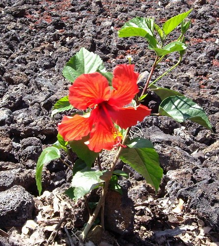 RED SINGLE HIBISCUS