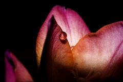 After midnight (Diana in Wonderland) Tags: pink flower macro green water yellow droplets petals drops sony fuschia waterdrops freesia sonyalpha opteka10x sonyalphaa200 deniedcrop