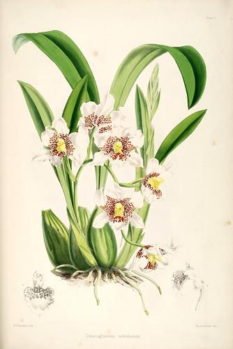 020-Odontoglossum Nebulosum