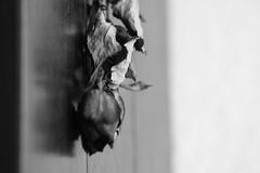 upside down (she's gone) (arminMarten) Tags: longexposure blackandwhite bw flower rose canon blackwhite dof depthoffield dslr blume telephotolens   schwarzweis canonef70300mmisusm 400d canoneos400d teleobjectiv  armanh schwarzweisbild schwarzweisaufnahme schwarzweisphoto