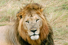 Lion (sirca1) Tags: africa nature animal eyes wildlife cristina lion leon kenia sabana arquimbau