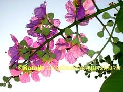 ดอกอินทนินบก Sakura & ANTs