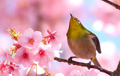 Things are Looking Up! It's Spring! (jcowboy) Tags: pink green bird nature birds animal animals japan japanese spring asia searchthebest wildlife sakura aichi 2009 okazaki mejiro   whiteeye blossoms cherry march09 mywinners anawesomeshot holidaysvacanzeurlaub mar09 march2009 mar2009
