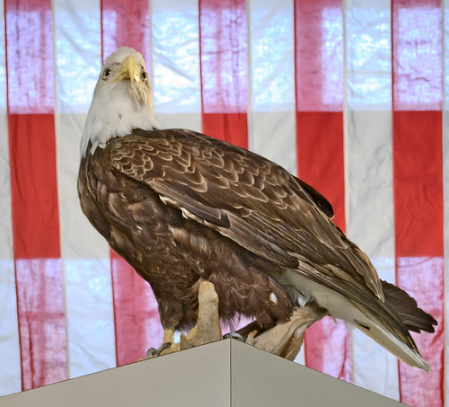 Pere Marquette State Park, in Grafton, Illinois, USA - mounted bald eagle