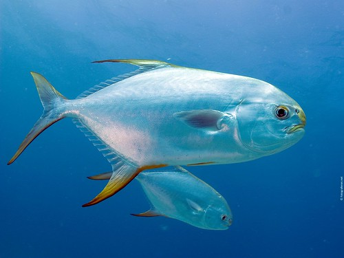Buck-Nosed Trevally [Trachinotus blochii] in the Seychelles near the paradise island of Praslin. 2008.