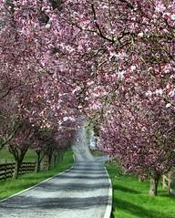 spring awakening (1bluecanoe) Tags: countryside spring wa gigharbor piercecounty plumtrees mywinners mywinner 1bluecanoe vosplusbellesphotos