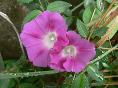 morning glory (Foot Slogger) Tags: pink flowers home water waterdrops morningglory naturesfinest
