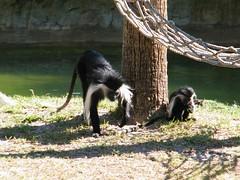 dhh bo (dmathew1) Tags: tampa florida lowryparkzoo babywhitetiger babymandrill babyorangatun babycolobusmonkey babyguenon