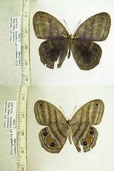 Magneuptychia iris