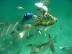 Colorful Tropical Fish Eating Chicken - Underwater Picture - Los Frailes Islands Snorkeling Boat Trip - Marcos Tours - Isla Margarita, Venezuela, South America (Margarita Island Pictures) Tags: pictures sea vacation fish chicken america canon island islands is los colorful underwater eating venezuela south case tropical margarita caribbean isla frailes sd700 wpcdc5