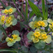 Photo: Alternate-leaved Golden-saxifrage