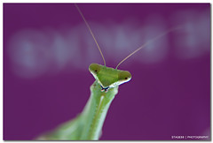 And Then I Fell In Love With A Mantis (Sam Ilić) Tags: color macro green canon mantis purple bokeh tube canberra extension kenko explored 450d australianphotographerscomp canon24105mm4