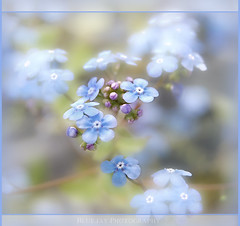 Forget-me-nots (❁bluejay 2006❁) Tags: flowers blue nature spring soft sunday nikond40 bluejay2006 zuzkasfaves