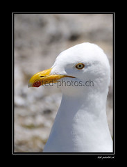 1939 (www.ted-photos.ch) Tags: portrait france animal bretagne oiseau regard faune finistere goeland argente