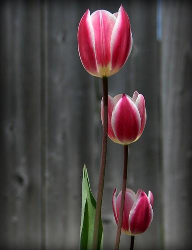 フリー画像| 花/フラワー| チューリップ| レッド/花|        フリー素材|