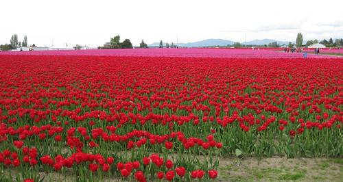 Skagit Tulips - 58