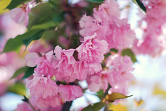 <3 Pinkkkkkkk (jami_lee) Tags: pink flowers tree green leaves leaf spring