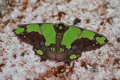 Agathia arcuata? (Geometridae: Geometrinae)