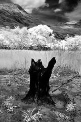 Nagsasa Stump (lantaw.com) Tags: bw white black ir philippines hike deadtree stump infrared backwoods zambales nagsasacove