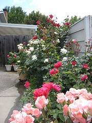 IMG_2996 Front Rose bed (gardenchien) Tags: flowers roses flower rose gardens garden mygarden perennials gardenchien