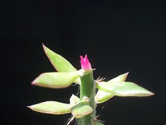 Digitostigma Pink (Totalmente Norestense) Tags: albino digitostigma astrophytumcaputmedusae digitostigmacaputmedusae proyectodigitostigma