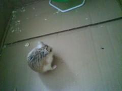 Jotoh eating a treat (ikieran97) Tags: hamsters