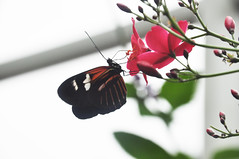 I Really Want to Chase Butterflies (fromky) Tags: flower floral quote dorislongwing magicwingsbutterflyhouse heliconiusdoris museumoflifescience williammoultonmarston tropicalconservatory dsc1781 fromcentralsouthamerica