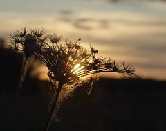 Abendstille (Harald52) Tags: abend natur pflanze sonne stille ruhe gruenesdreieck