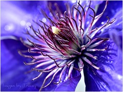 A Magical World ...... (for Greg50) (Tracey Tilson Photography) Tags: blue white flower macro nature sparkles 50mm nc spring nikon shadows purple natural bokeh north clematis may vine center micro carolina bloom nikkor 2009 picnik dcr250 raynox d90 imthrilledwithmynewlens