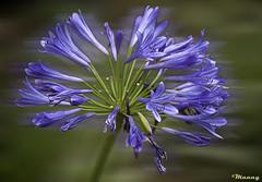 """Sent from up above""   (Explored) (M@@nʎ) Tags: summer flower iran pentax ایران گل بابلسر babolsar blueribbonwinner مازندران k100d مولانا مولوی mazanadaran"