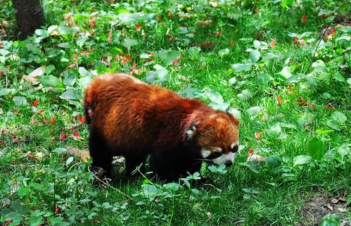Panda 066