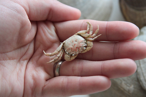 bitty little crab