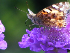 Summer Glory. (stormlover2007) Tags: summer flower nature wales butterfly garden insect lepidoptera paintedlady scabious naturescall treeofhonour 030609