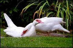 Love Birds (Kirsten M Lentoft) Tags: white love birds avianexcellence diamondclassphotographer theunforgettablepictures thewonderfulworldofbirds kirstenmlentoft