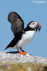 Atlantic Puffin Fratercula arctica (Nigel Blake, 18.5 MILLION views! Many thanks!) Tags: uk canon island eos sand atlantic northumbria lance puffin eel farne lesser arctica fratercula ammodytes 1dsmkiii 600mmf4is tobianus