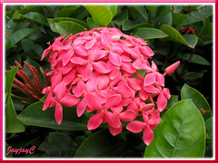 Ixora coccinea 'Nora Grant' (Jungle Flame/Geranium, Flame of the Woods, Needle Flower) with pink flowers, seen in Kuala Lumpur