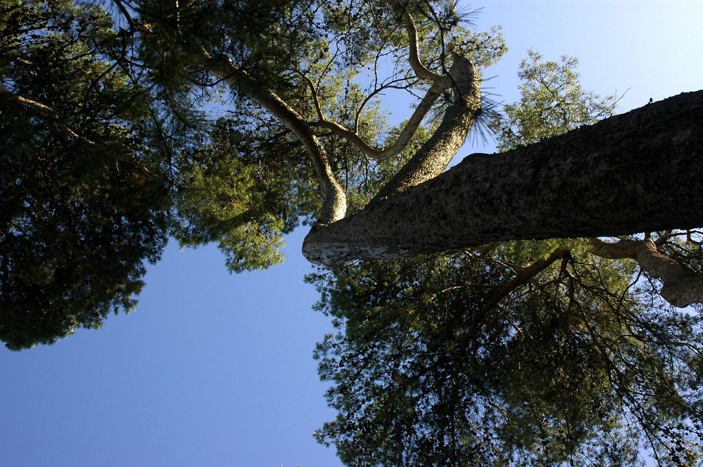 Pinheiro de Alepo, Lisboa, 20Junho2009-071