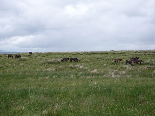 Exmoor Ponies at HIgh Green, Northumberland