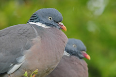 Wood Pigeons (Columba palumbus) in the Rain at RSPB Blacktoft Sands (Steve Greaves) Tags: pink portrait green bird rain weather closeup grey couple bokeh dove pair large aves rainy naturereserve brace avian gettyimages rspb woodpigeon columbapalumbus commonwoodpigeon 2xteleconverter blacktoftsands woodpigeons manfrottomonopod nikond300 whitepatch globalbirdtrekkers nikonafsii400mmf28ifedlens