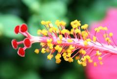 Good Morning, Friends!! (ivlys) Tags: flowers macro nature blumen pistil hibiscus stamen stempel ivlys staubgefse