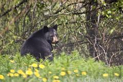 Black Bear in dendelions (Chelsea Lowe) Tags: bear bc wildlife blackbear dandelions jaspernationalpark