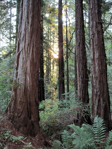 Second growth redwoods in Upper Ritchey Canyon